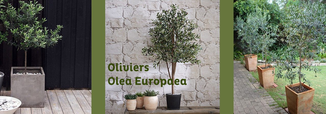 olivier olea europaea prix maison design. Black Bedroom Furniture Sets. Home Design Ideas