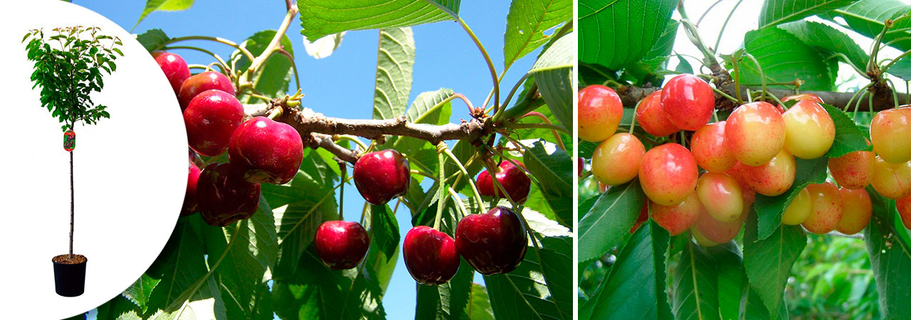 Cerisiers en pot pour un jardin gourmand nozarrivages - Comment planter un cerisier ...