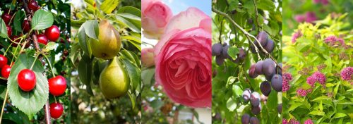 rosiers, arbres fruitiers et arbustes d'ornement