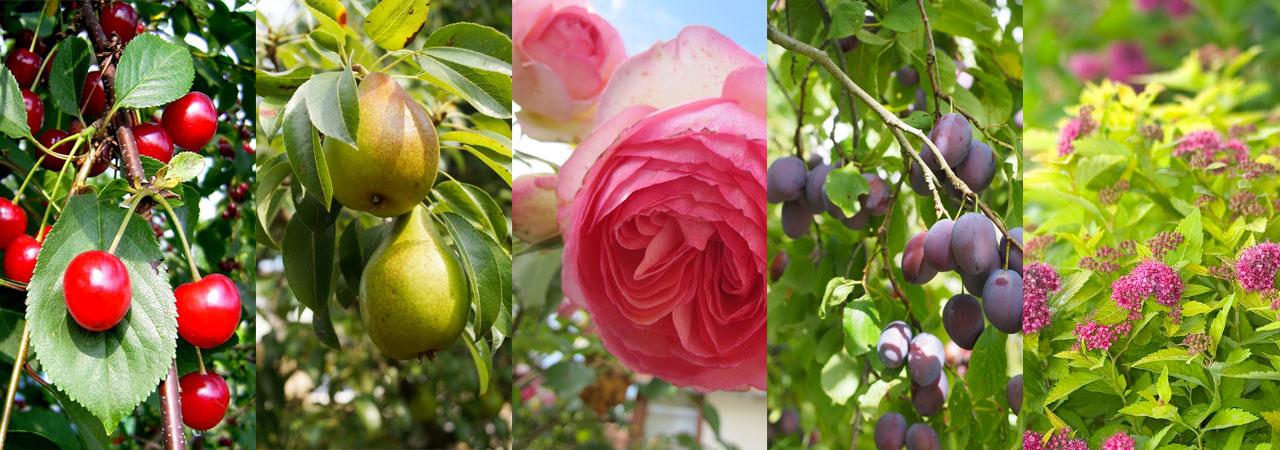 rosiers arbres fruitiers et arbustes d 39 ornement nozarrivages. Black Bedroom Furniture Sets. Home Design Ideas