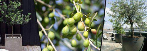 olivier olea europaea