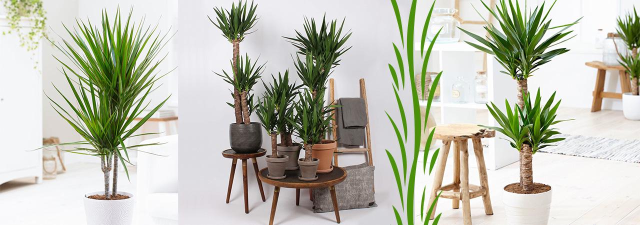 yucca plante d'intérieur