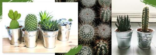 Petits cactus en pot